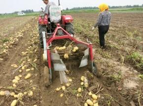 堪比破坏性实验的新疆土豆收获现场