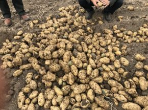 最新马铃薯高产栽培技术操作规程